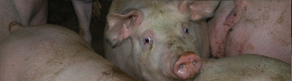 General Swine #1-rsz